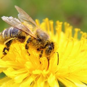 Conférence sur la vie des abeilles avec dégustation de miel 2 abeille1 0